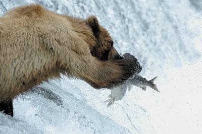>三文魚減少灰熊餓極侵民居