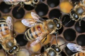 >蜜蜂權威何鎧光:蜜蜂不可能全部消失
