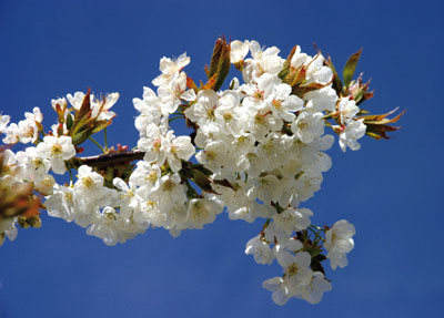 >花與花的故事:惟遠惟繁始足看的──李花