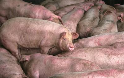 >中國豬肉漲價背後的千頭萬緒