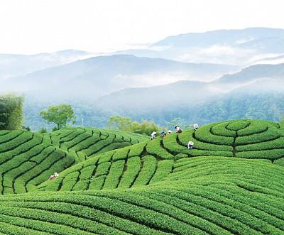 >台茶保衛戰 │ 華夏茶文化根植台灣 台灣挑tea 1