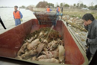 兩會期間 八千死豬大漂流