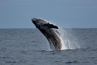 西澳賞鯨季節來臨