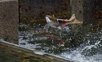 生命禮讚 加西三文魚大洄游
