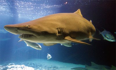 戰略管理案例趣聞:陸地鯊魚