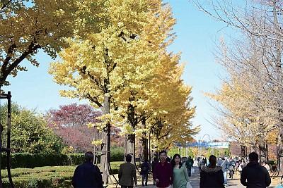 城市魅力 東京散步 光之丘銀杏即景