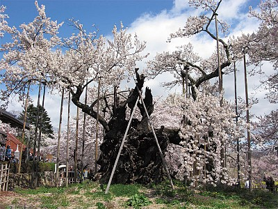 二千年傳奇 日本巨櫻老木