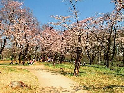 空心櫻花樹 一樹如故花爛漫