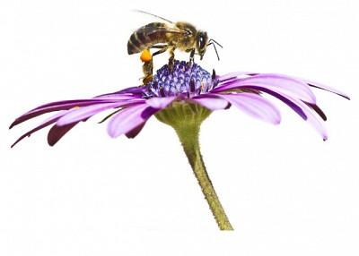 研究:蜜蜂也患癡呆 污染惹的禍