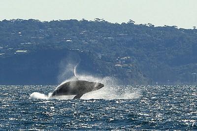 >西澳觀鯨:守護落難船隻 海中巨人盡顯人性