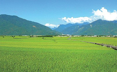 聽一年古典樂 池上米豐收破紀錄