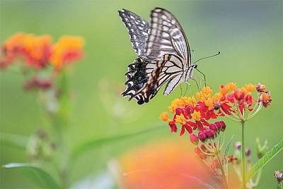 昆蟲之謎(一)昆蟲薄翼證明進化論謬誤