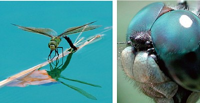 複眼與變態 昆蟲奧祕令進化論失據