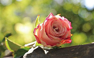 >淬火的金玫瑰 ——大法弟子 許家玫的人生故事